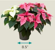 """Large 8.5"""" Al's Garden Center Poinsettia Gift Certificate 2021"""