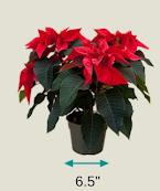 "Small 6.5"" Al's Garden Center Poinsettia Gift Certficiate 2021"